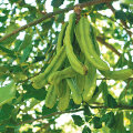 Jaanikaunapulbrit kasutatakse kakao ja Šokolaadi aseainena.