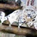 Rongaemast lumeleopard võtab aja maha