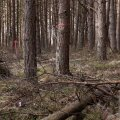 Haeskas asuv metsamaa, mille puud plaanib omanik maha võtta.