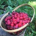 Väikesed punased paradiisiõunad on väga dekoratiivsed.