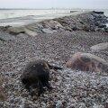 FOTO: Pirita rannas lebas surnud metssiga