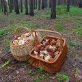 Siil seent ei söö ehk seeneajal leiab seeni igalt poolt