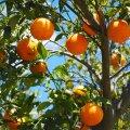 Испанские фермеры вынуждены продавать апельсины по 10 центов за килограмм