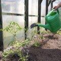 Naisteleht, kasvuhoone kastmine, vesi, kuivus, nipid