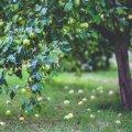 KUULA I Aiapidajatel tasub eelistada neid istikuid ja aiasaaduseid