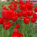 Soovitusi lillesibulate ostmiseks ja istutamiseks
