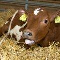 Transgeenne lehmvasikas Juuni
