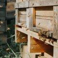 Mahemesilased on nagu mesilased ikka. Korjetöö Harro Rannametsa mahemesilas.