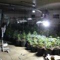 ФОТО | Полиция обнаружила в Ляэне-Вирумаа плантацию конопли