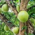 Harilik kõrvitsapuu: abimees nii tervisehädade puhul kui ka ehituses