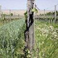 Biodünaamilises viinapuuaias (Weingut Weninger, Austria) kasvavad koos viinapuud, võililled ja teravili. Talv ja lumi muudavad kaks viimast mullaks, mille väärtus kajastub hiljem veinides.