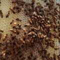 Mesinikud: rapsikasvatajaid tapavad meie mesilasi!