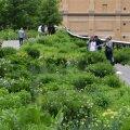 Juunikuises pargis on palju rohelust, kui püsikud ja kõrrelised veel hoogu võtavad. Õitsevad arkansase amsoonia (Amsonia hubrichtii) ja pajuleheline amsoonia (A. tabernaemontana) ning helekollaste õisikutega viltune lauk (Allium obliquum).