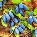 Söödaval kuslapuul on väga maitsvad ja küllaltki suured viljad.