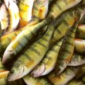 Ahven oma meeldejääva välimusega on tuntud ka kaladega vähem  kokku puutuvatele inimestele.