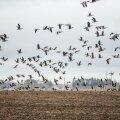 Haned põllul lendu tõusmas
