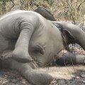 Botswanas on avastatud 90 salaküttide tapetud elevanti