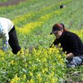 Põllumajanduses töötavad peaasjalikult malevlased, nende eest ajas tööload korda SA Õpilasmalev. Talunikud, kes külalapsi põllule appi tahavad, peavad nad ise töötajate registrisse kandma.