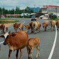 Reisilennuk põrkas Indoneesias maandumisrajal kokku lehmaga