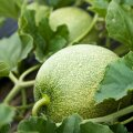 Melonitaim meenutab lehtede poolest kurgi- või kidurat kõrvitsataime.