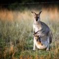 Tallinna loomaaed aitab Austraalia tulekahjus kannatanud loomi