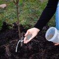 Vihmase ilmaga võib tahke väetise puu võra laiuselt maapinnale puistata.