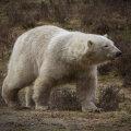 Jääkaru tappis Teravmägedel mehe