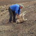 Austraalias New South Walesis elav karjapidaja Gordon Youman kuumast nõrkenud lammast jalule aitamas. (Foto: AFP)