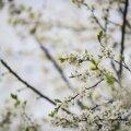 Kreegipuu õitseb