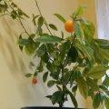ФОТО читателя Delfi: А вам слабо вырастить дома мандарины?