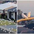 ВИДЕО | Тысячи попугаев заполонили австралийский городок