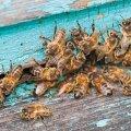 Mesilased