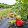 Kui oluliseks peate maasika päritolu?