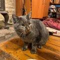Хозяйка в шоке: кто-то покрасил ее кота в серебряный цвет