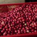 Põlvamaal varastati keldrist pool tonni jõhvikaid