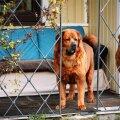 Tiibeti mastif Trinity (vasakul) kaotab raketirünnakute hooajal poole oma elurõõmust, iga paugutamiseta möödunud päev on aga kingitus. Caramel püüab talle toeks olla.