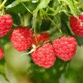 Kasulik ja maitsev vaarikas sobib nii toiduks, teeks, ravimiks kui ka nahanoorendajaks