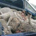 ФОТО | В Рапламаа волки разошлись не на шутку. Хищники загрызли уже около 70 овец