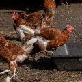 Птичий грипп подбирается к Эстонии