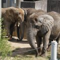 Tallinna loomaaia elevandid