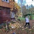EHITUSELE JÄI ETTE ÜLE 40AASTANE VIINAPUU. Kiskusinseinalt ta võimsa võra maha ja lasin kopal juurestiku väljaampsata. Suur rõõm: taim elas jõhkra kohavahetuse ja talve üle!