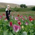 ÜRO: Afganistani oopiumitoodang on sel aastal rekordiline