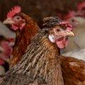 Õnnelike kanade farm Ida-Virumaal, Lüganuse valla Rääsa külas.