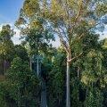 Borneo vihma-metsadesse on rajatud laudteesid.