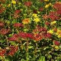 Kamtšatka kukehari võib moodustada isegi kõrgema pinnakatte.