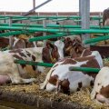 Piimatoodangu suurendamise asemel tasuks pöörata tähelepanu valgu- ja rasvatoodangu suurendamisele.