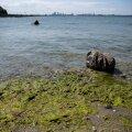 В эстонские водоемы приходят опасные для здоровья сине-зеленые водоросли