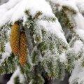 Vanarahvas ennustas kevade tulekut lume peale pudenenud kuuseokkakihi järgi.