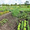 Ajad on muutunud ja poodide kaubavalik suurenenud, aga linnainimesed tahavad ikka oma aiamaad.