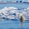 Gröönimaa jääkaru triivjää keskel. Toiduta jäänud karudel ei jää muud üle kui inimesi kimbutada.